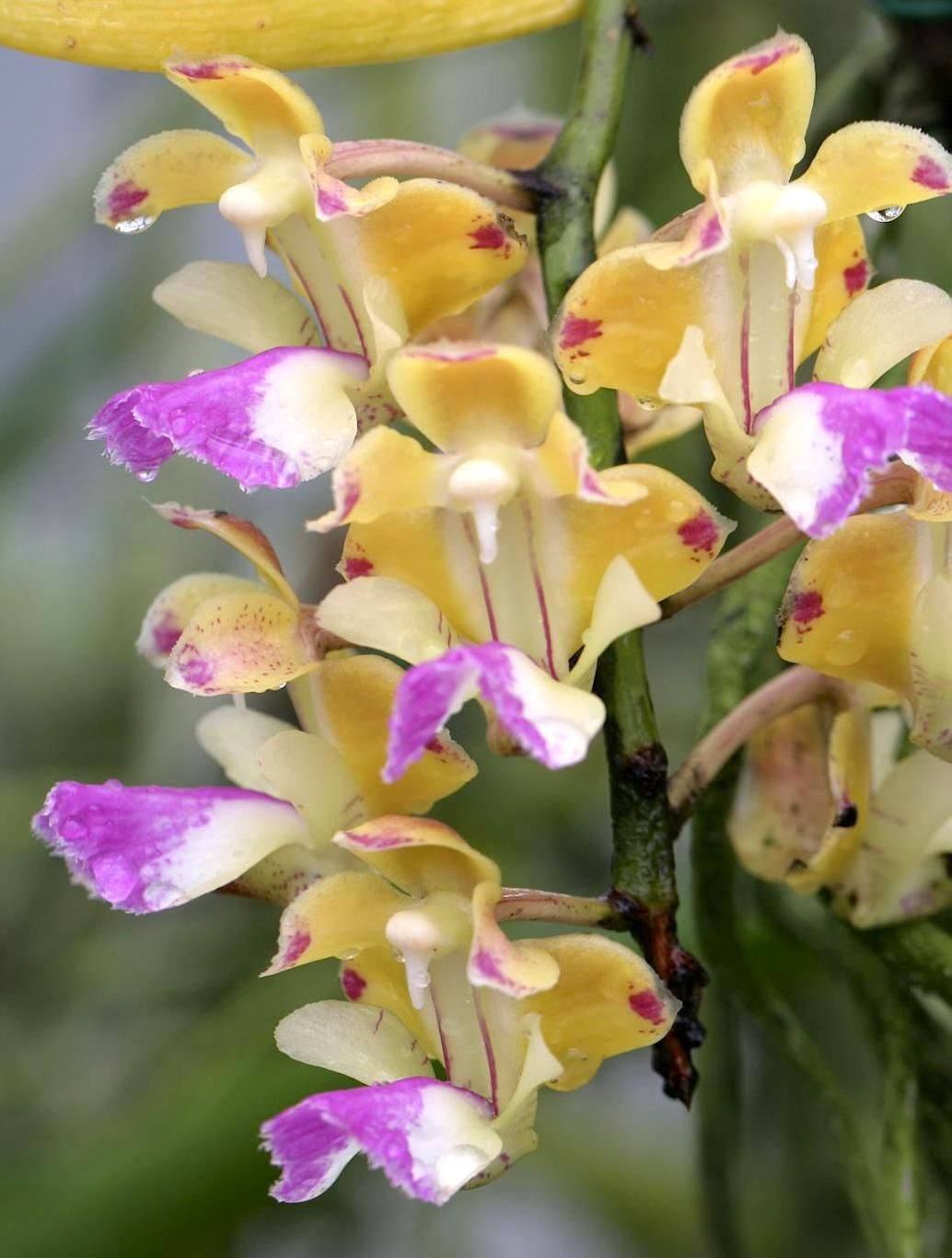 Aerides houlletiana orchid and flowers