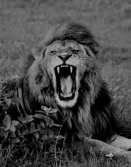 roaring black lion - Google Search   Tattoo Inspirations ...