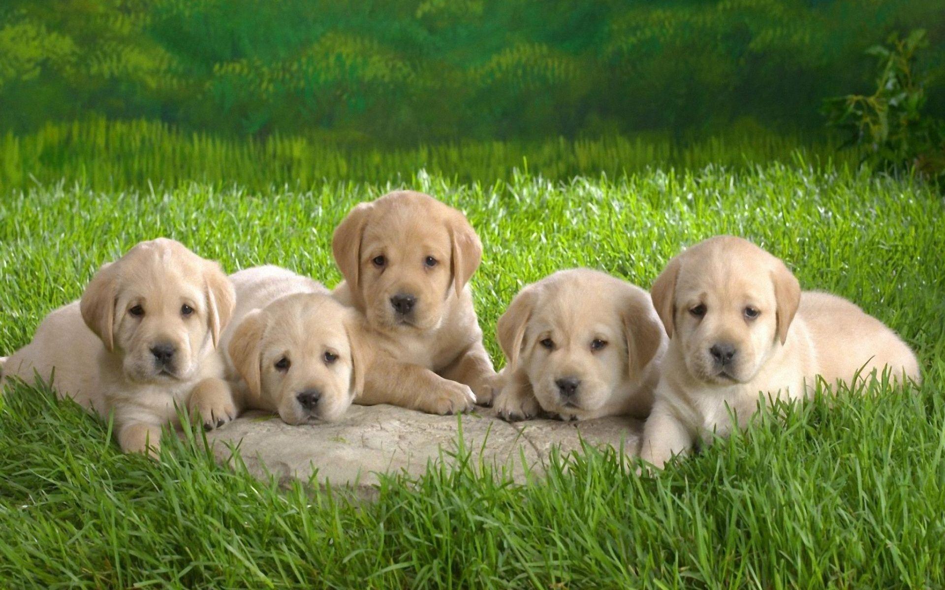 Golden Retreviers Seven Golden Retriever Puppies Dogs Golden