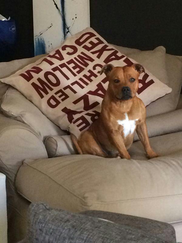 Resultado de imagen para staffy sofa