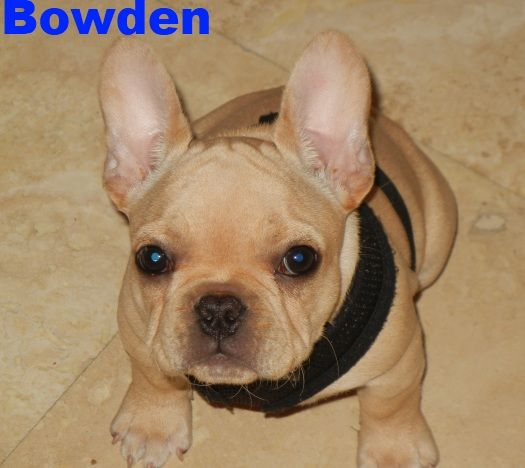 Bluegrass Frenchies Of Berea Ky French Bulldog Frenchie