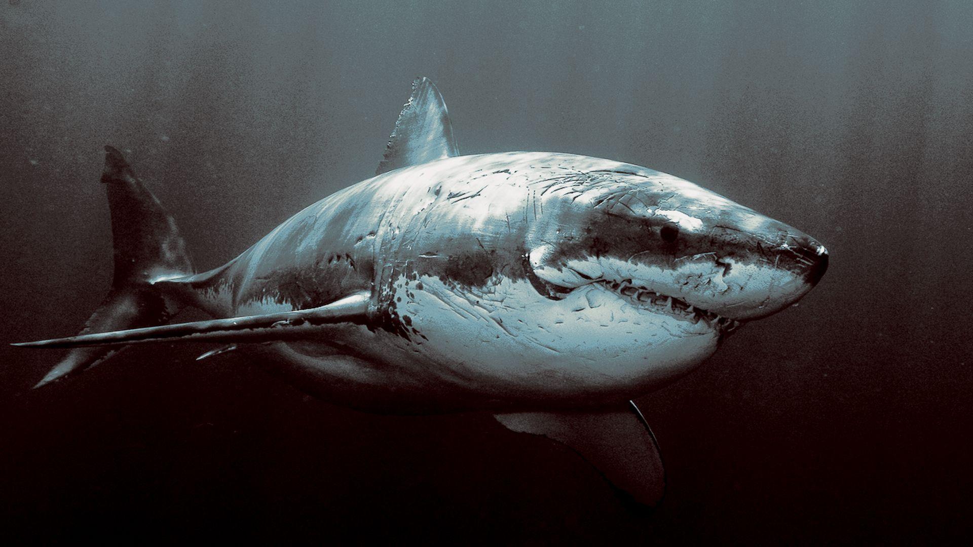 Shark Wallpaper Picture Yrf Gran Tiburón Blanco Tiburon