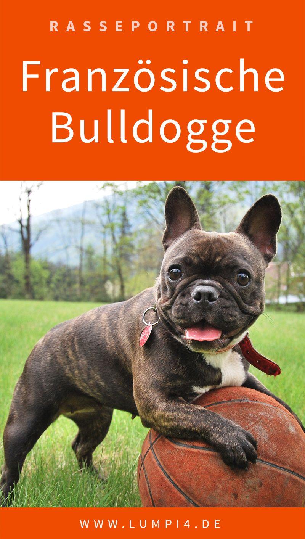 Die Franzosische Bulldogge Bulldogge Franzosische Bulldogge