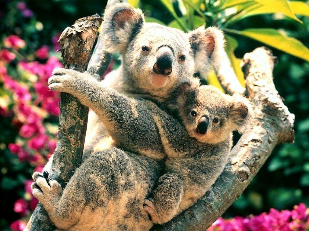 Koala Hd Wallpapers And Backgrounds 40 Http Www Urdunewtrend Com Hd Wallpapers Animal Koala Koala Hd Wallpapers Cute Baby Animals Koala Bear Baby Animals