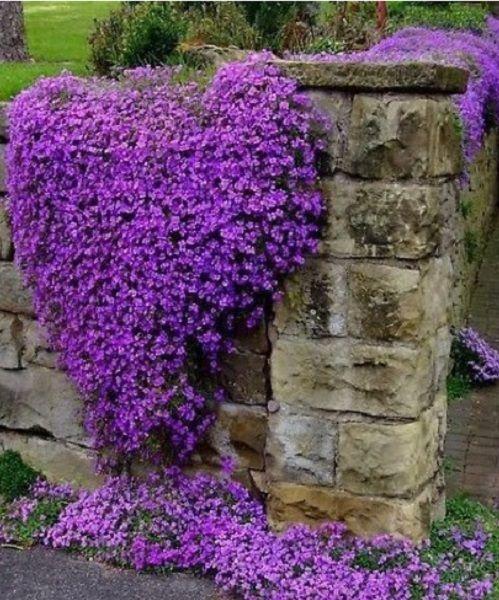 Purple rock wart.