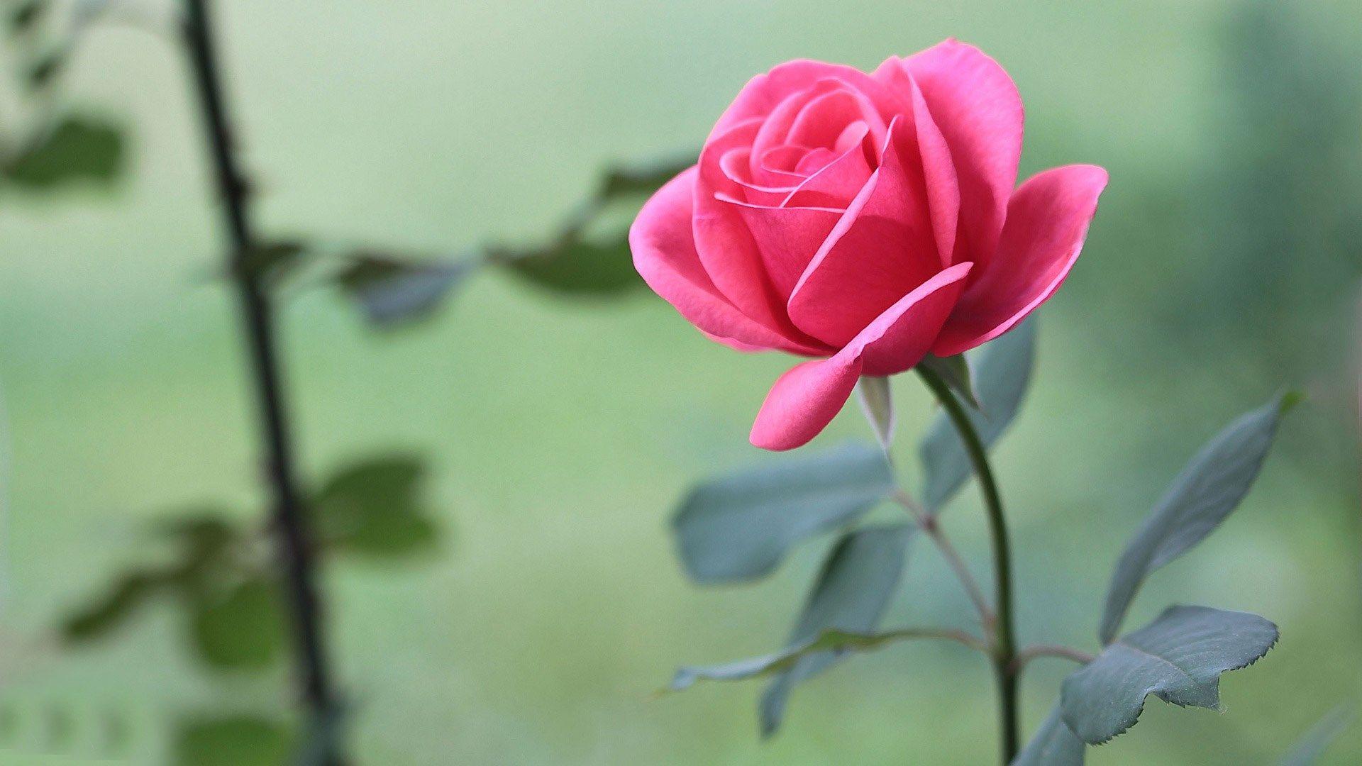 Rose Wallpaper Pack 1080p Hd Ololoshenka Pinterest Pink Roses
