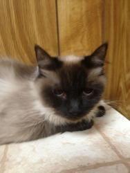 Adopt Noel On Pet Finder Cat Rescue Ragdoll Cat