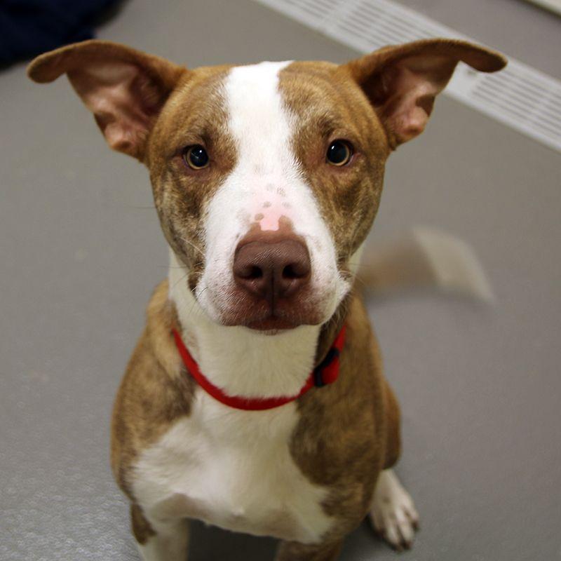 Ajax Spca Of Texas Dallas Spca Pitbull Terrier Animal Rescue
