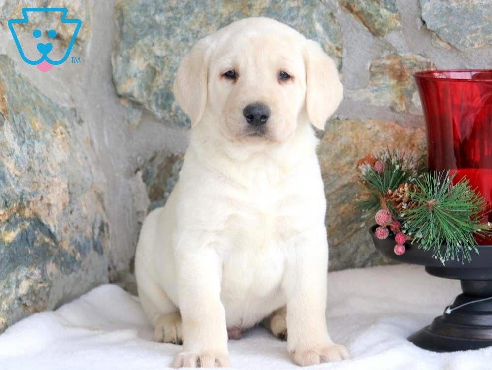 Outstanding Small Dogs Information Is Readily Available On Our Site Read More And You Wont Be Sorr In 2020 Labrador Retriever Labrador Puppy Labrador Puppy Training
