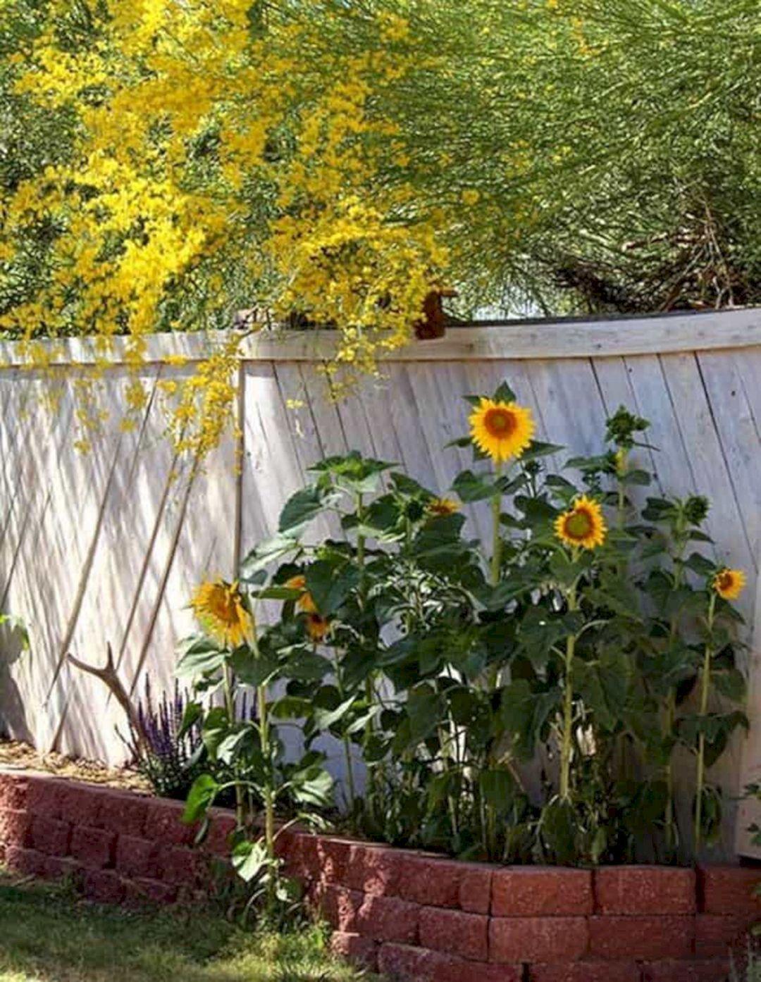 25 Beautiful Sunflower Backyard Design For Your Garden Ideas Planting Sunflowers Growing Sunflowers Sunflower Garden