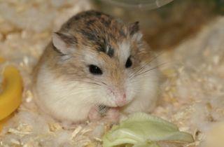 小動物 の検索結果 Yahoo 検索 画像 ハムスター かわいいハムスター ロボロフスキーハムスター