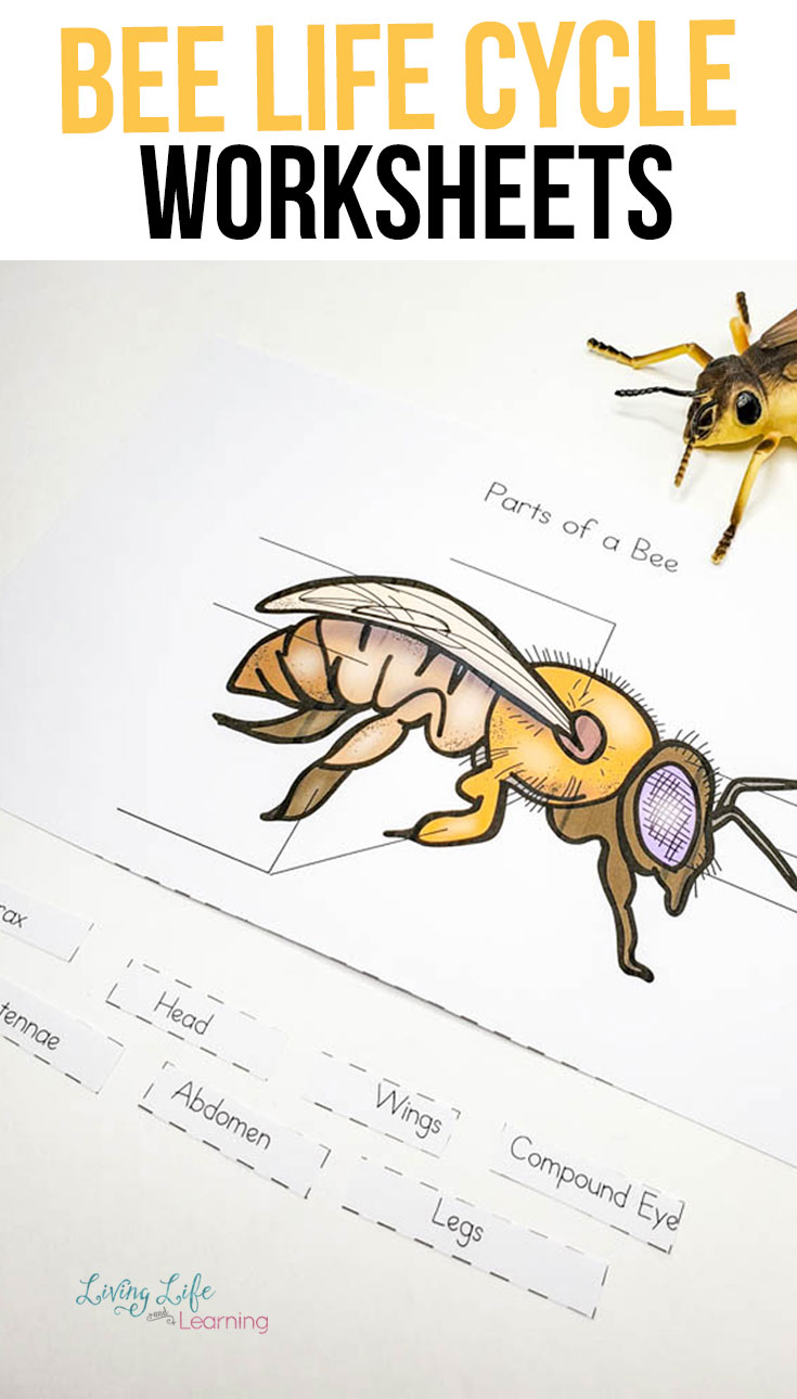 small resolution of Honey Bee Life Cycle Worksheets   Honey bee life cycle