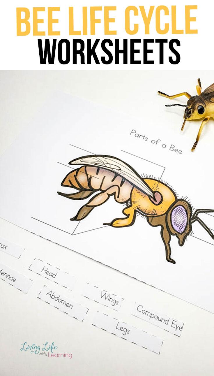 medium resolution of Honey Bee Life Cycle Worksheets   Honey bee life cycle