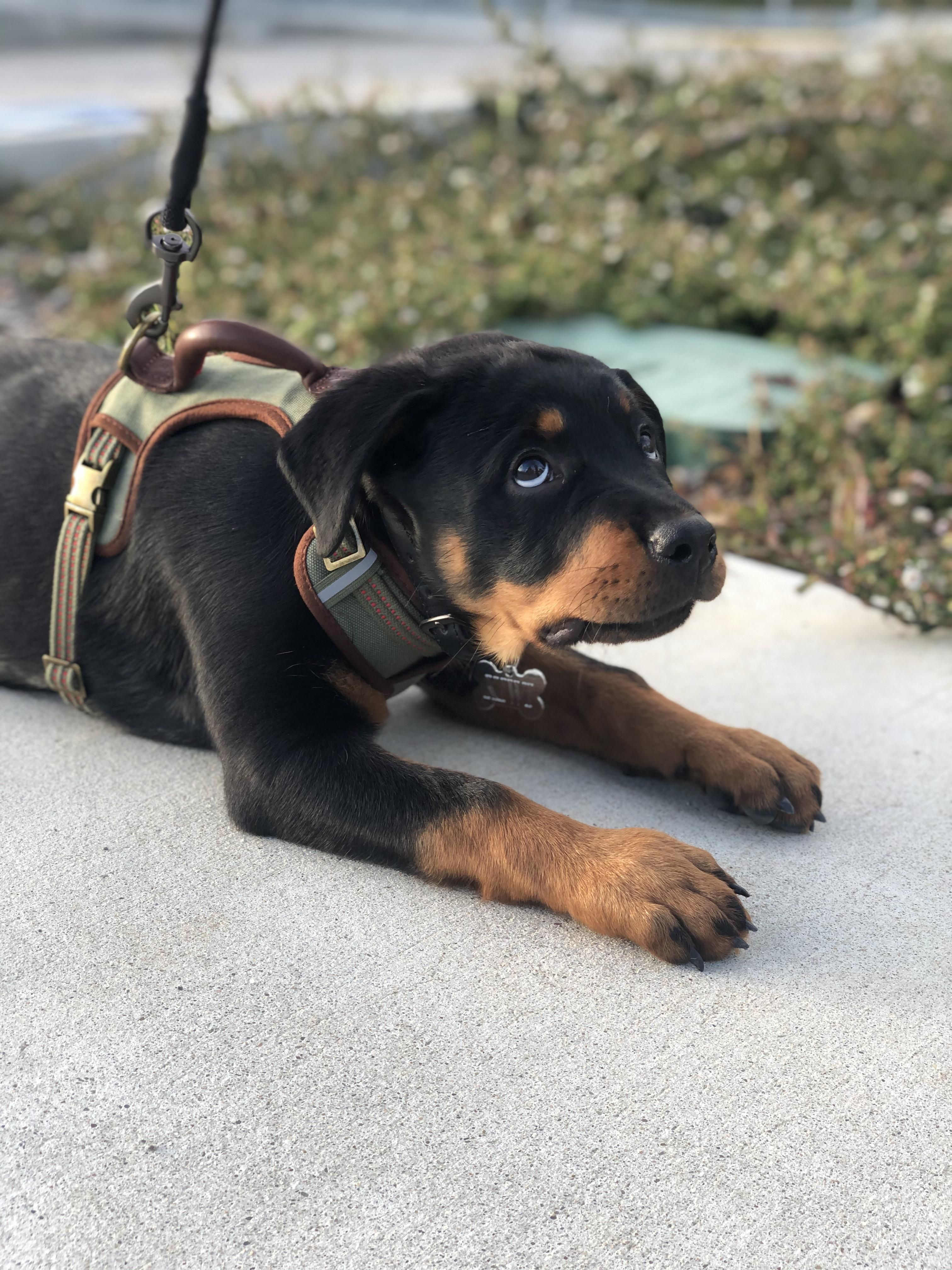 Kiwi The Rottweiler Pup Adorable Rottweilers In 2020 Rottweiler Mix Rottweiler Puppies