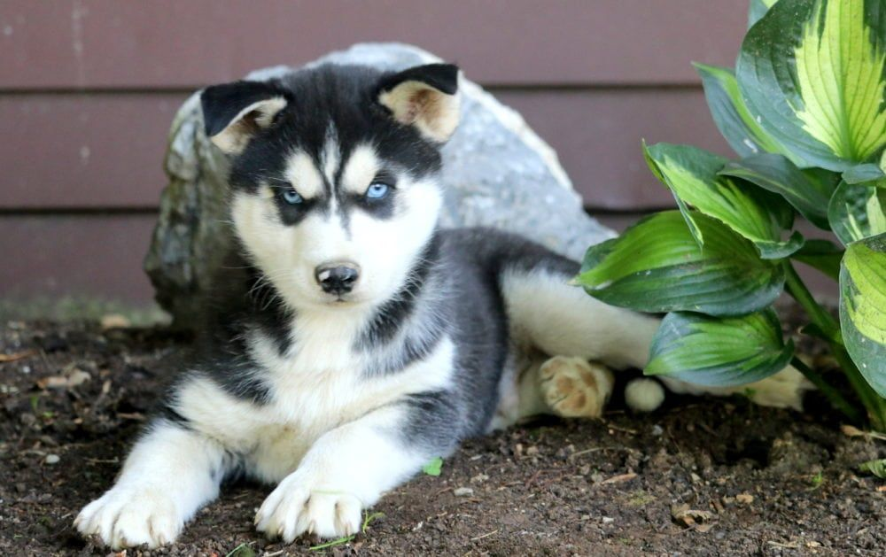 Peter Pan Husky Puppies For Sale Puppies Husky Puppy