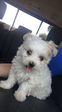 Maltipoo Puppy For Sale In Macomb Mi Adn 36425 On Puppyfinder