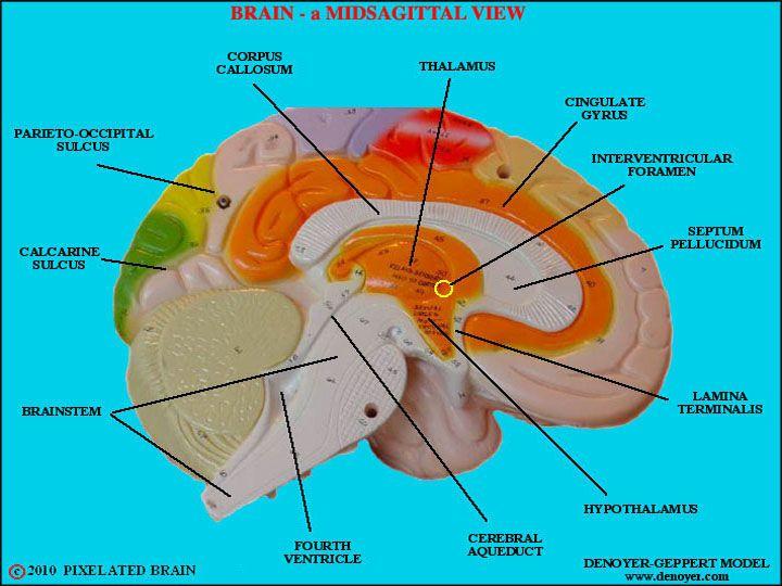 Human Brain - Labeled | Human Biology | Pinterest