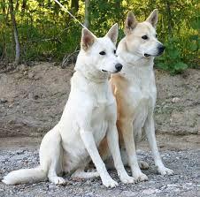 כנעני כלב חיפוש ב Google Canaan Dog Dog Breeds Medium Dog