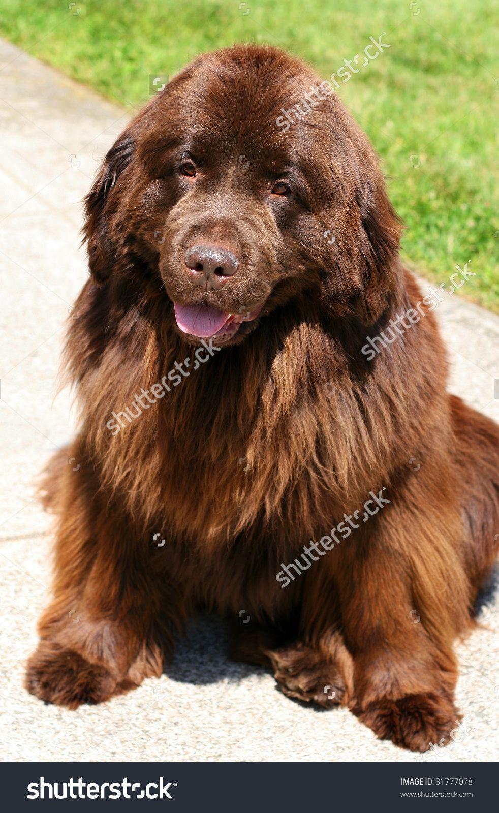 beautiful brown newfoundland dog Dog stock photo