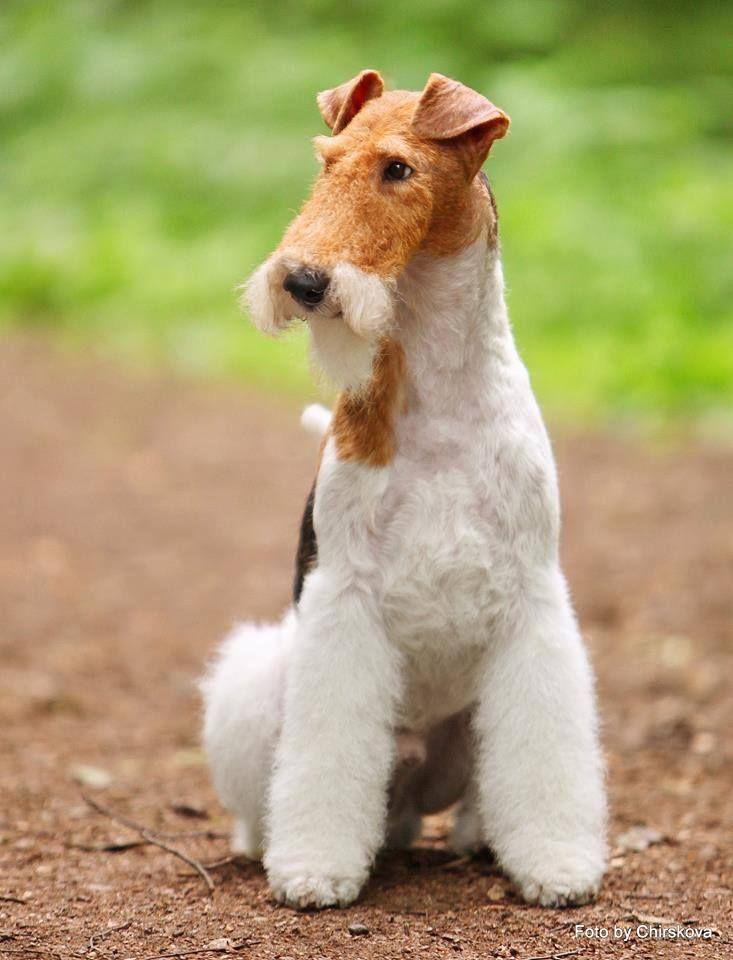 Wire Fox Terrier Wire Fox Terrier Fox Terrier Wirehaired Fox Terrier