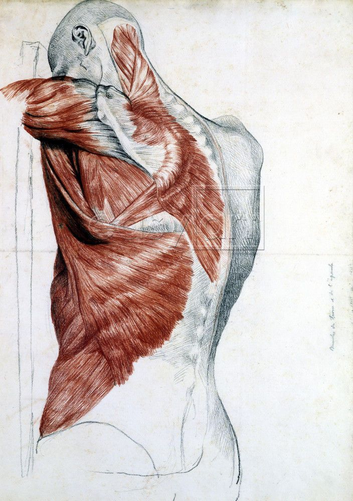 Muscles of the back - latissimus dorsi, infraspinatus, teres major ...