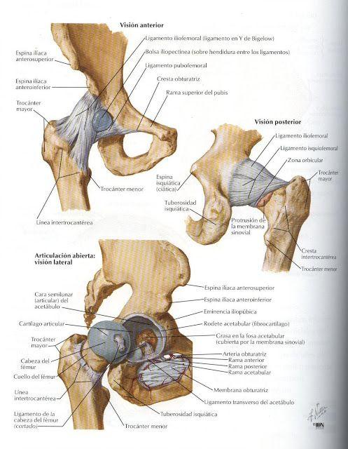 Créditos a: Atlas de Anatomía Humana Netter 2da. Edición ...