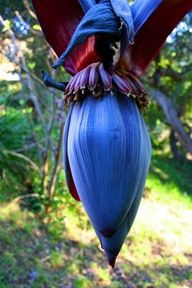 Notocactus magnificus syn. Parodia magnifica by plantmanbuckner, via Flickr - Google Search