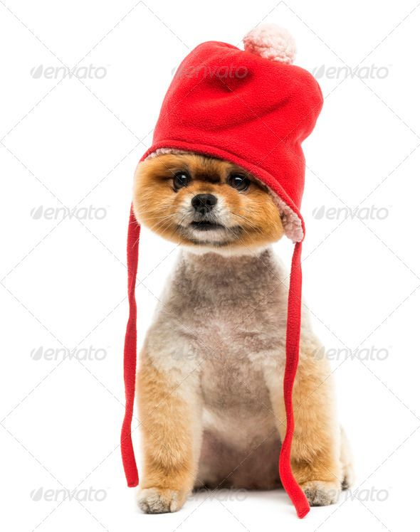 Grommed Pomeranian Dog Sitting And Wearing A Red Bonnet Dressed