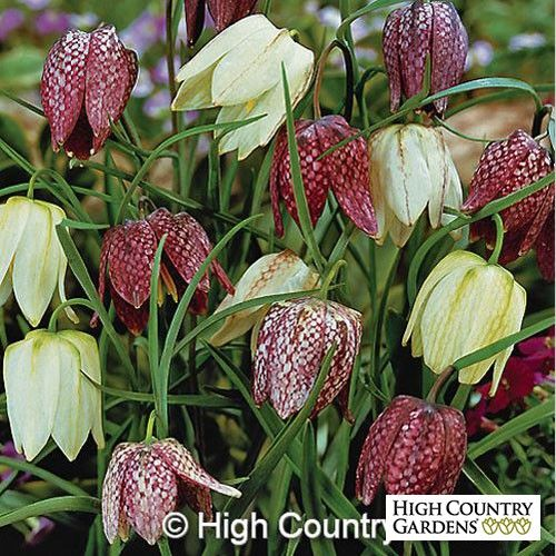 Fritillaria meleagris Bulbs Crown Imperial Low Water Plants