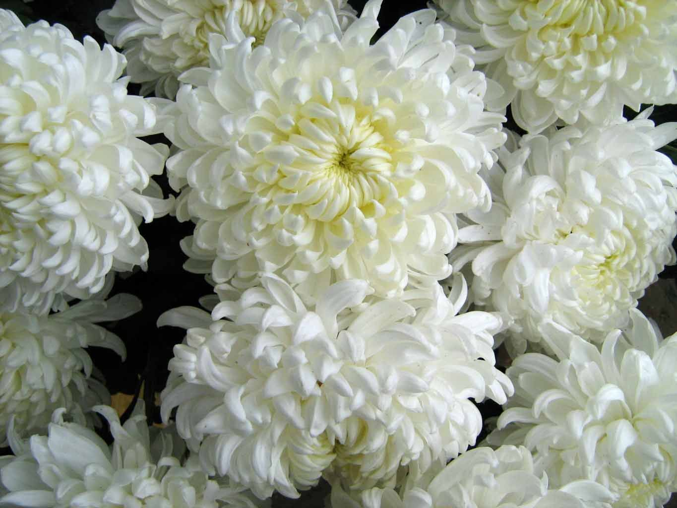 Chrisysthmums Chrysanthemums Flowers Wallpapers