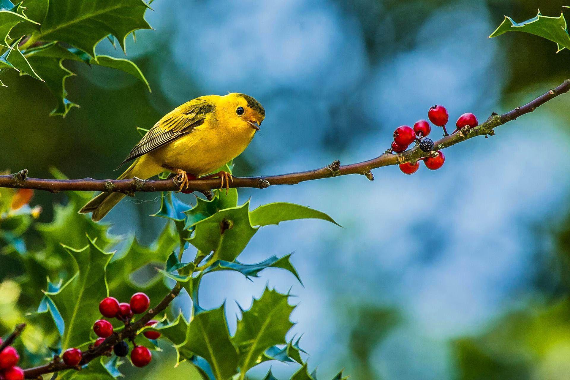 Arbre – Branche – Feuilles – Fruit rouge – Jaune – Oiseau
