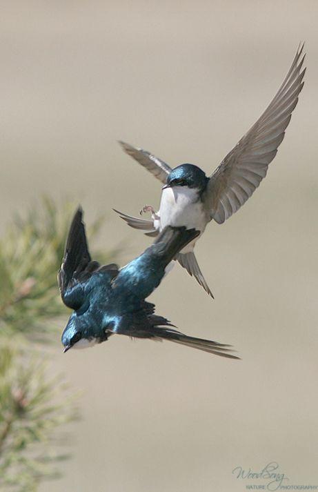 Territorial Tree Swallows ©C.Mead | Birds, Beautiful birds ...