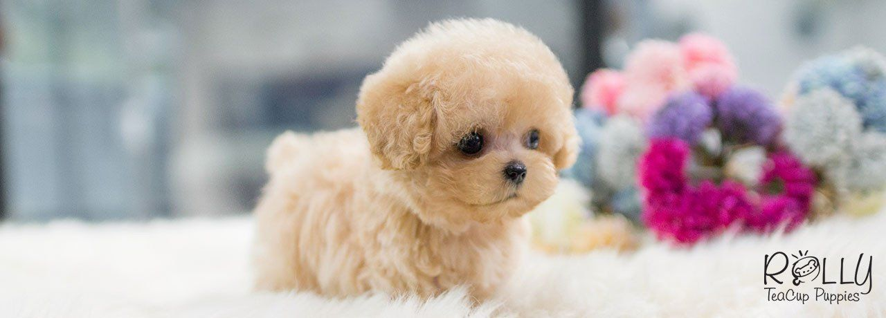 Cute Tea Cup Puppy Http Ift Tt 2gmpzn7 Teacup Puppies