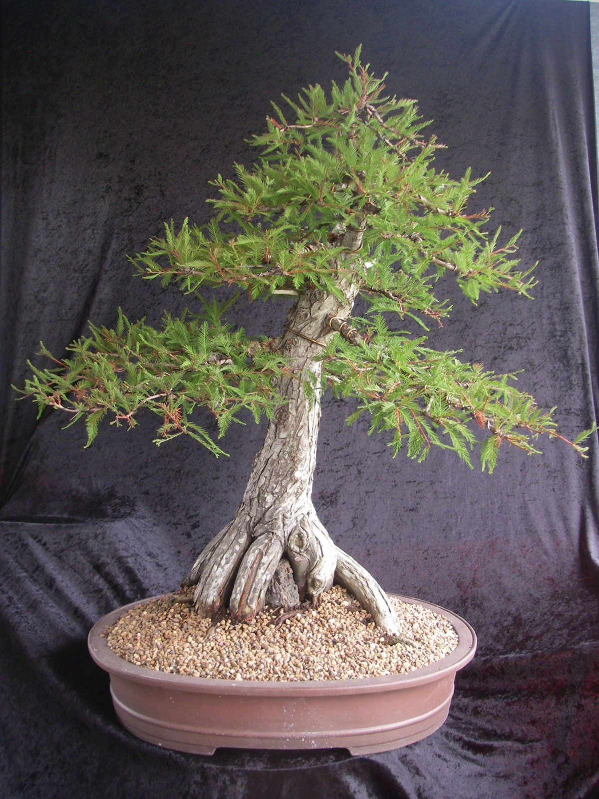 Bonsai Northside Nursery » Photo Gallery