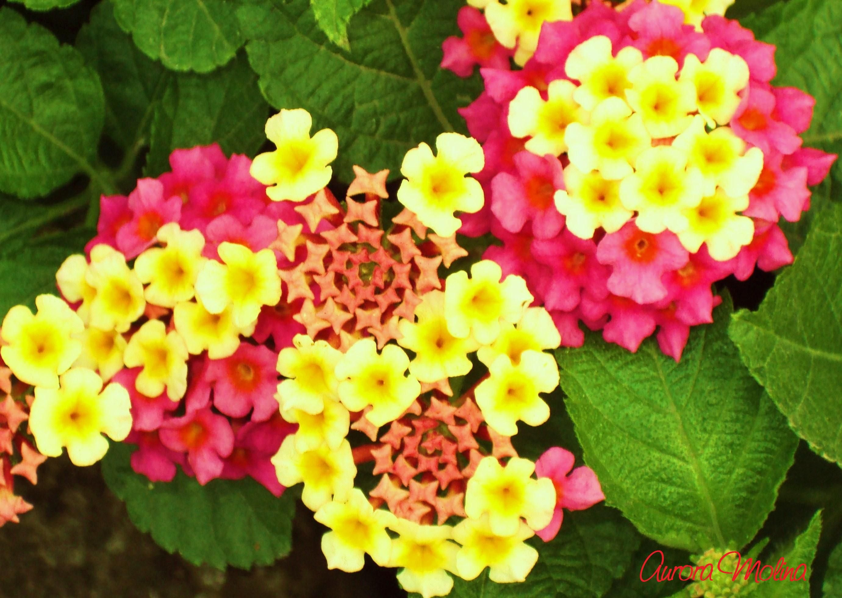 Lantana Camara Also Known As Spanish Flag Or West Indian Lantana These Delicate Flowers Are Butterfly Magnets It Has Plants Delicate Flower Tropical Flowers