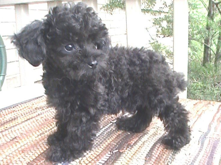 Teacup Poodle Named Sara All Love In A Small Size Can You Handle The Cuteness Teacup Poodle Full Grown Poodle Puppy Black Miniture Poodle