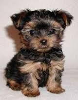 Teacup Poodle Yorkie Mix Want One Dog Breeds That Dont Shed