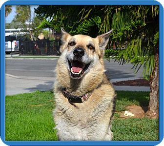 Pictures Of Gia A German Shepherd Dog For Adoption In Mira Loma Ca Who Needs A Loving Home With Images German Shepherd Dogs Dog Adoption Shepherd Dog