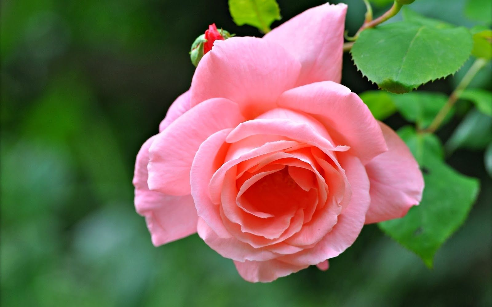 Brote de rosa