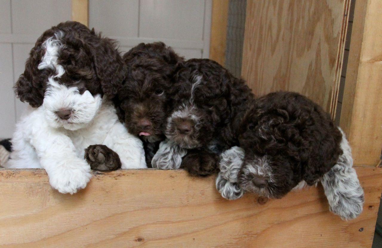 Lagotto Romagnolo Of Canada Ducketts Lagotto Www Lagottoromagnoloofcanada Com Lagotto Romagnolo Dog Friends Lagotto Romagnolo Puppy