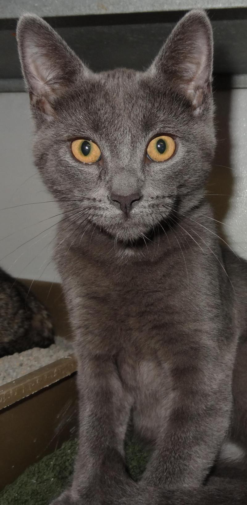 Adopt Schroedera little angel! on Petfinder American