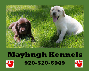 Best Labs In Colorado 970 520 6949 Mayhugh Kennels Kennel Lab Puppies Colorado