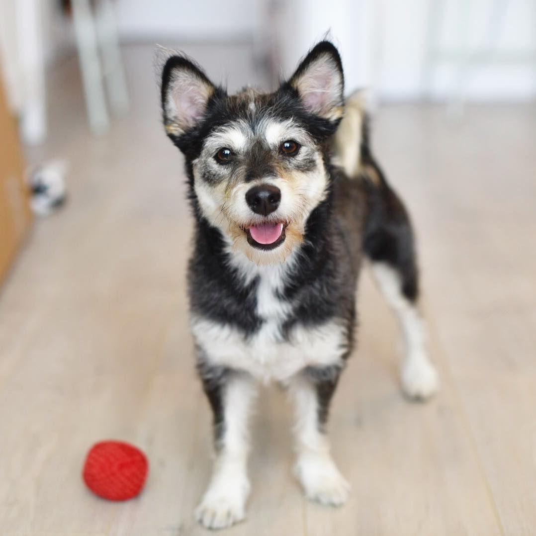 292 Likes 2 Comments Luna Doge Shibapoo Littledogeluna On