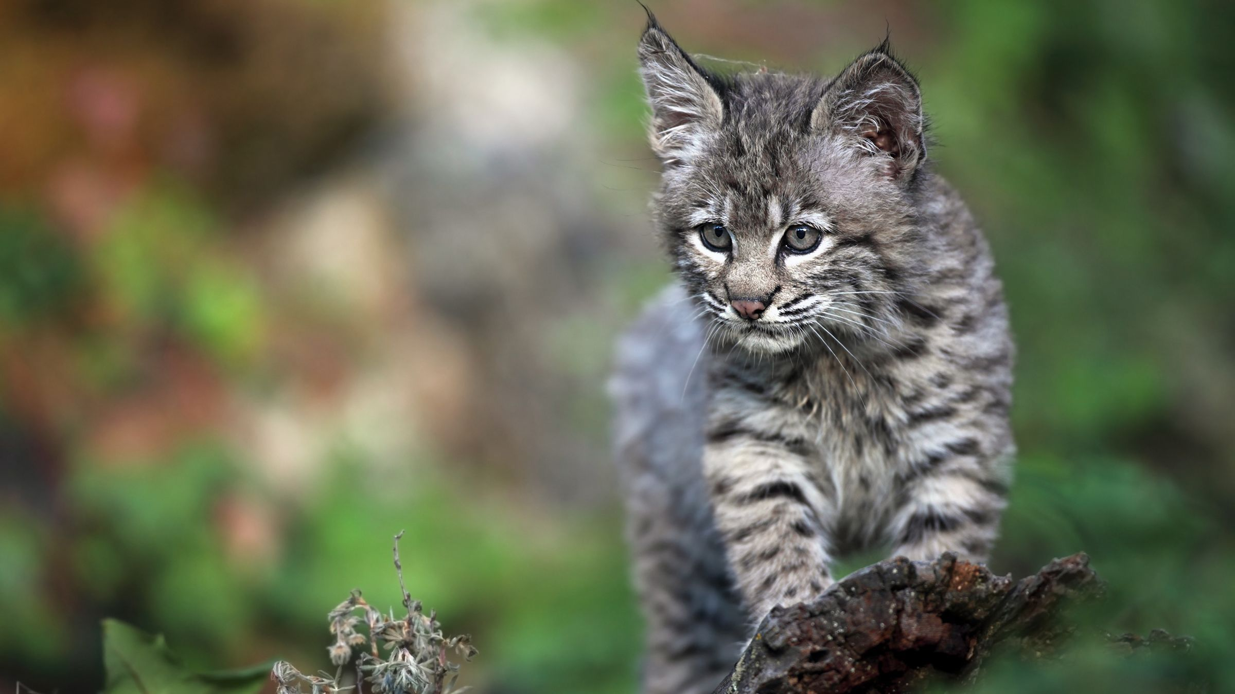 Tennessee Woman Rescues A Kitten That Turns Out To Be A Bobcat Bobcat Kitten Baby Bobcat Animals