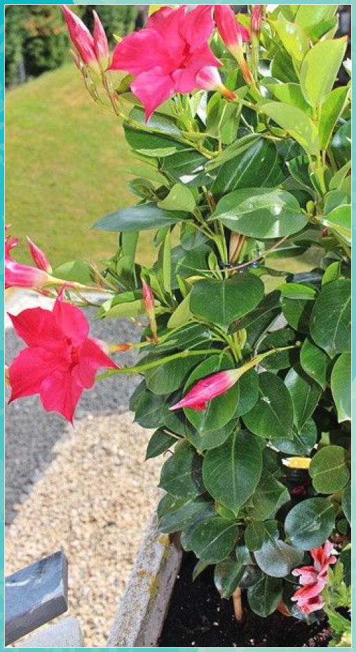 Caring for Dipladenia: You have to take this into account #account #caring #Container flowers #Container plants #Container vegetable gardening #dipladenia #Fall planters #Gardening #Geraniums #Perennials #Petunias #Planters #Succulent containers #Window boxes