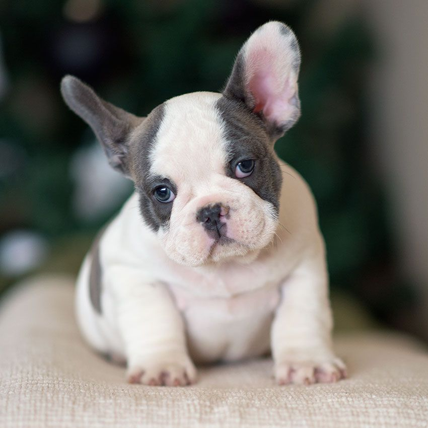 French Bulldog Mix Puppies For Sale | Puppy Adoption ...
