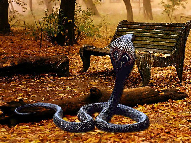 Cobra Snake High Definition Wallpapers Lovely Desktop Background