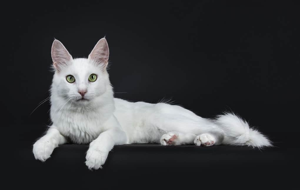 Turkish Angora Cat The Ultimate Guide to Their History