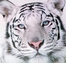 tigers - Google-søk
