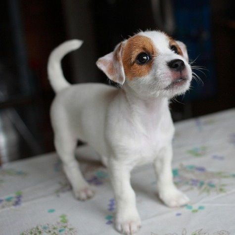 Baby Jack Jack Russell Terrier Puppies Cute Puppies Cute Dogs